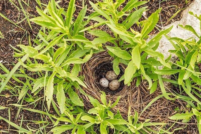 prairie, bird, nest