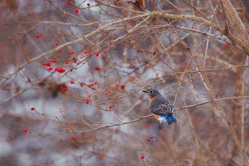 Winter's Bluebird